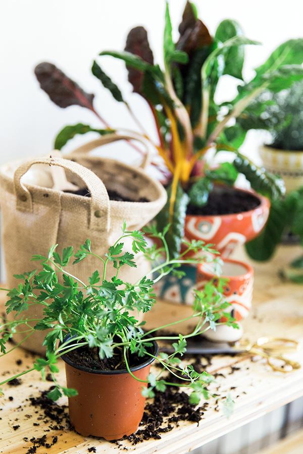 Growing an indoor herb garden