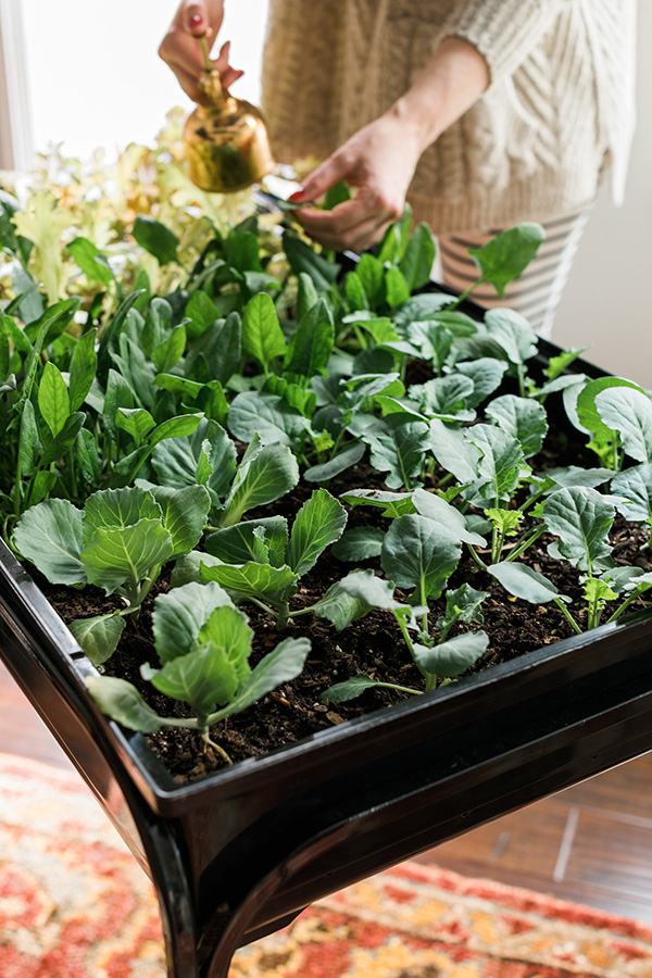 How to plant an indoor lettuce cart, Waiting on Martha