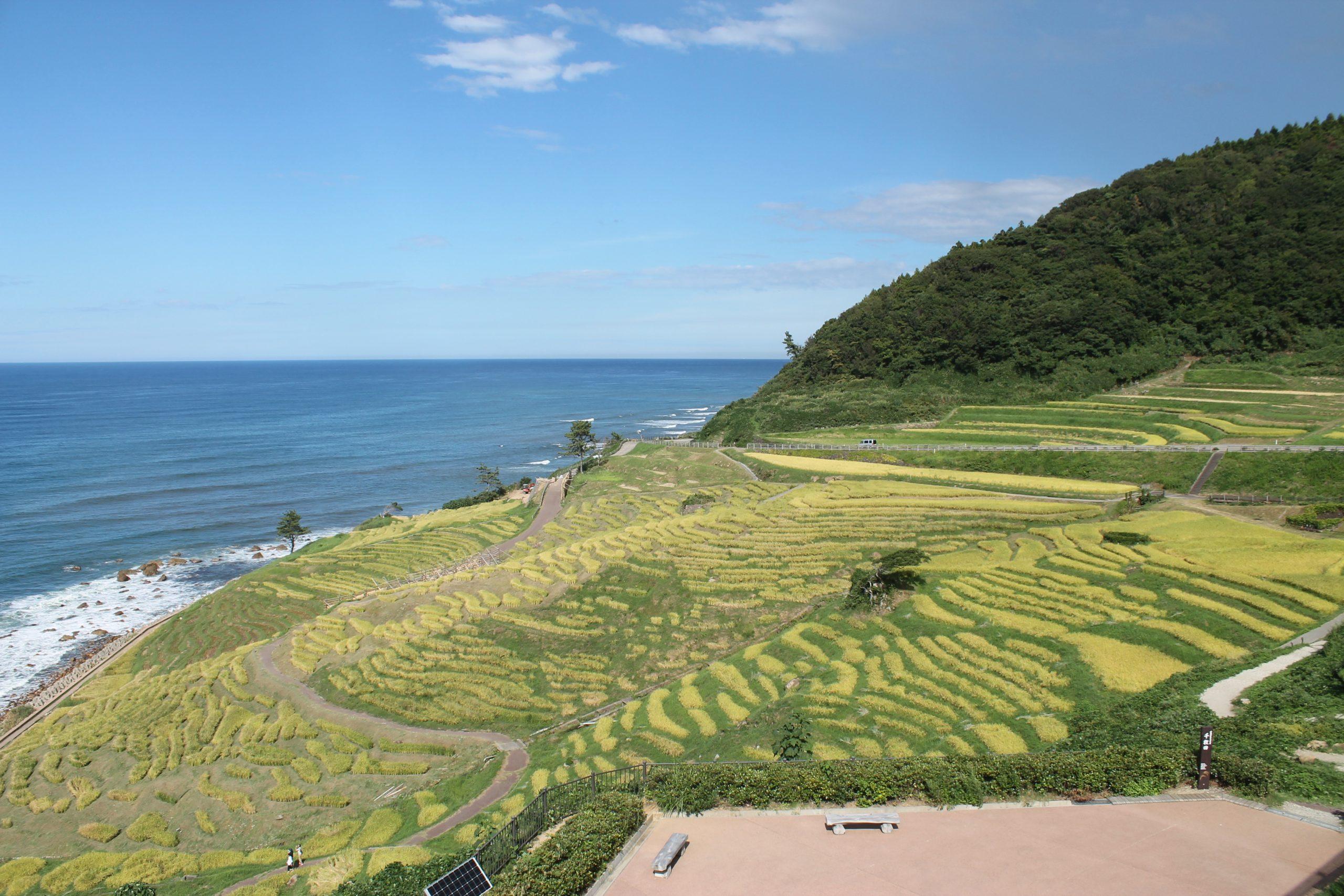 今日の白米千枚田|来週稲刈りが行われます。