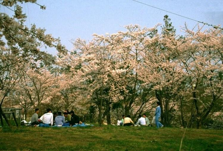 一本松公園の花見