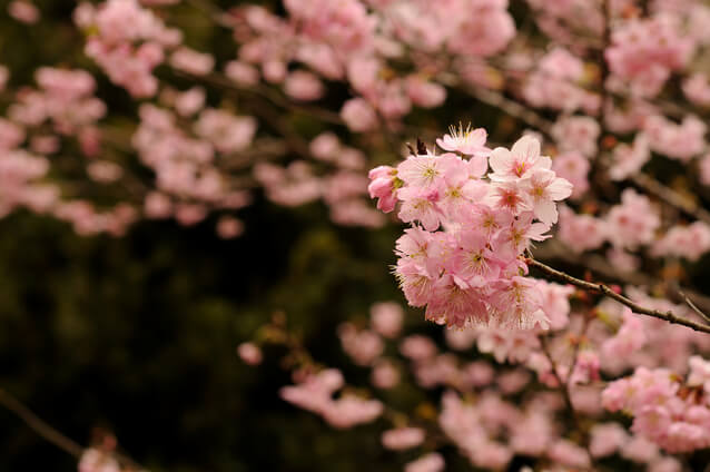桜はいつ日本の花になったのか
