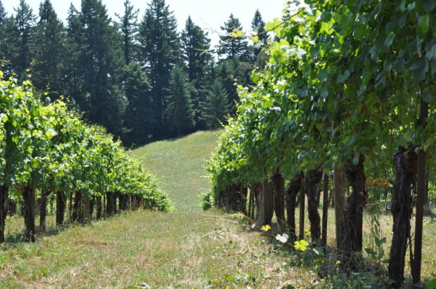 I lived for a month below the oldest vines in Willamette Valley