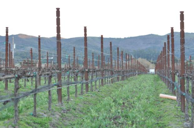 Melville Pinot Noir Vines