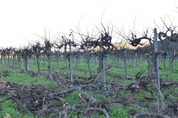 Riverbench Old Vines