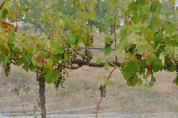 8 year old vines sparsely showing shiraz