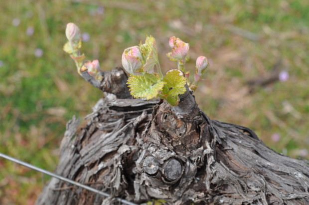 Syrah Bud Break, Lagier-Meredith