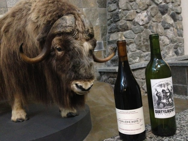 Musk ox sniffing out the wine