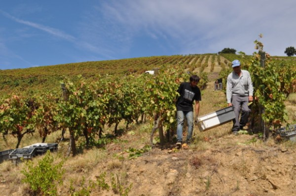 Harvest at Quinta Dos Murcas