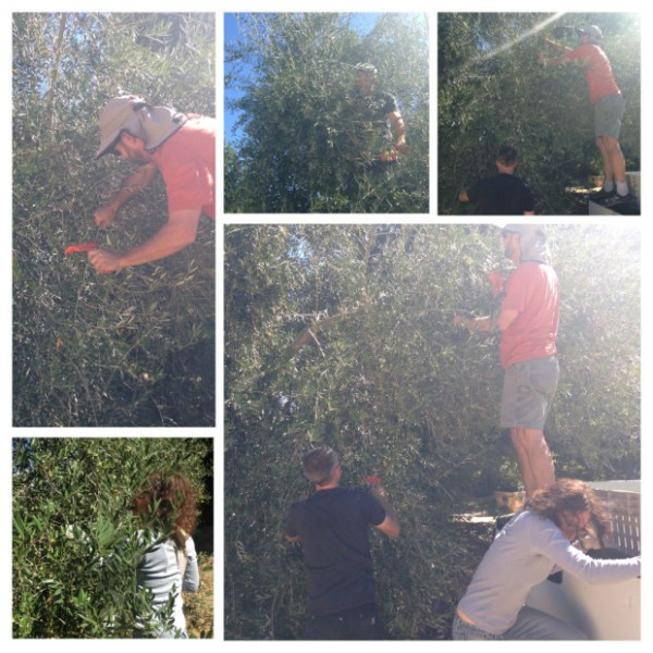 The Matthiassons harvesting olives in Napa