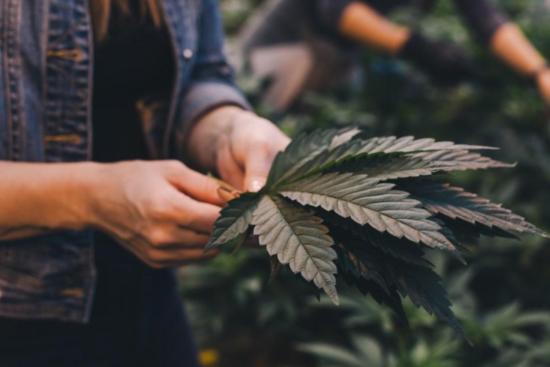 best cannabis career