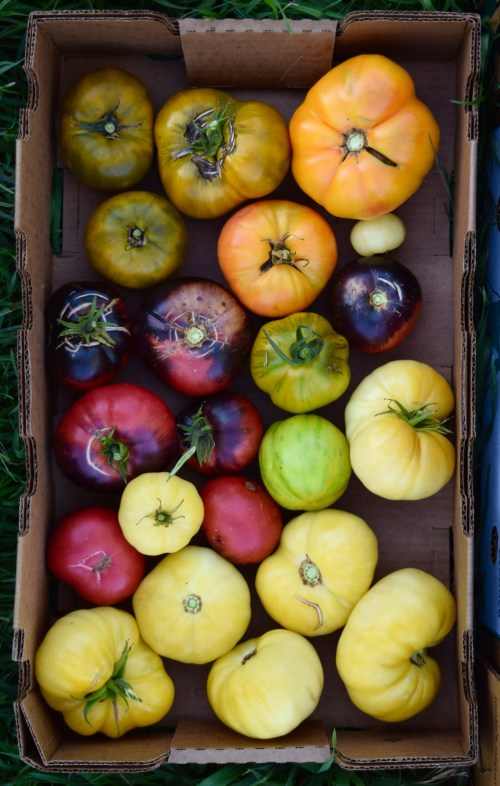 heirloom rare seeds tomatoes
