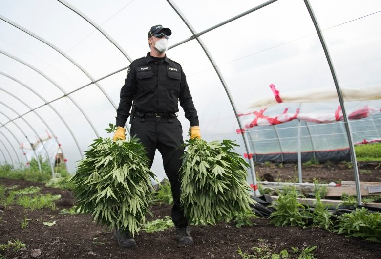 Licensed Pot Farms Busted For Growing Over Quota