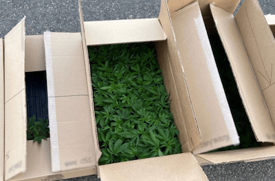 Canada: RCMP seize hundreds of cannabis plants following traffic stop near Kindersley