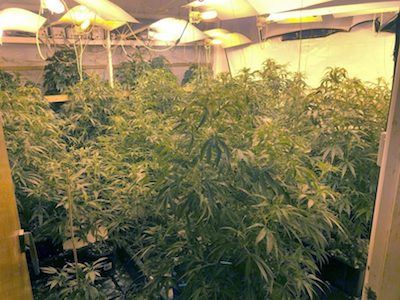 Australia: Police uncover cannabis grow house in Higgins(ACT)