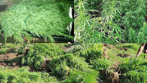 Fiji: Drug raids in Kadavu results in seizure of 1,500 marijuana plants