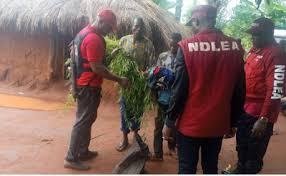 Nigeria: A suspected cannabis sativa farmer, Clement Akor, has appealed to the National Drug Law Enforcement Agency (NDLEA) to take his life rather than destroy his 10-hectare cannabis plantation.
