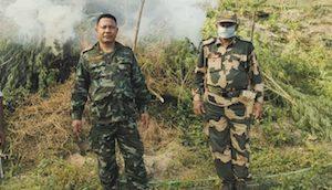 India: BSF, police destroy hemp in SWGH