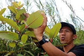 Thailand to remove Kratom from narcotics list after recent unlocking of marijuana and hemp