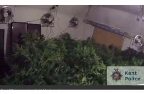UK – Caught in Kent… 200 cannabis plants found in property in Flood Street, Mersham, near Ashford