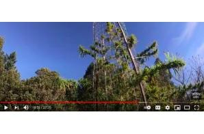 World's Tallest Cannabis Plant