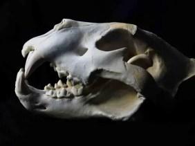 African lion skull animal guide