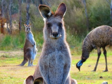 kangaroo emu