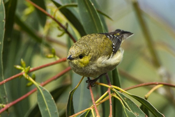 guide to birds of Tasmania Australia forty spotted pardalote