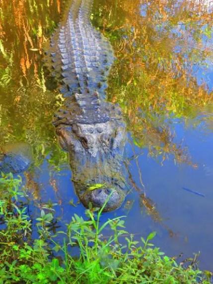 Peace river alligator