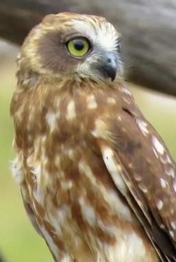 owl boobook