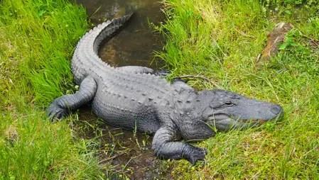 alligator-1335858_1920