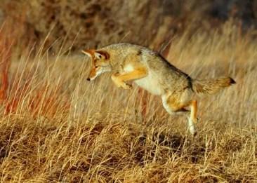 coyote-931142