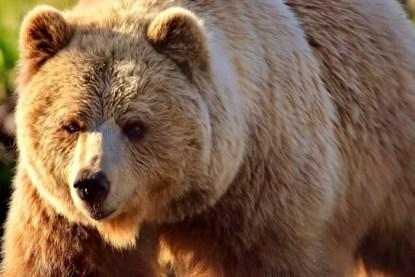 european-brown-bear-2193732