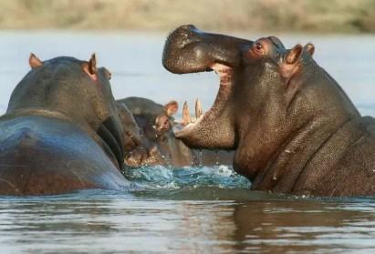 hippopotamus-95472_640