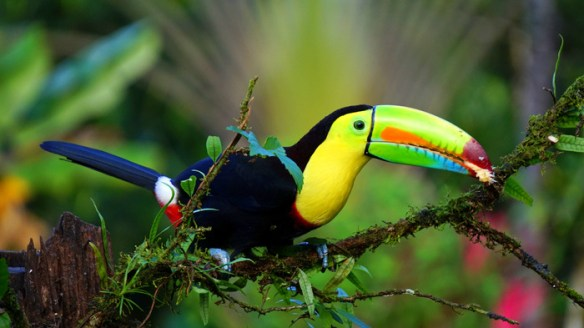 keel-billed-toucan-1021048