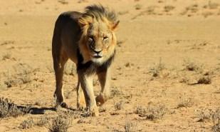 lion-1630276