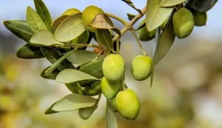 olives-3011343