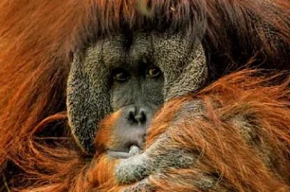 orangutan-571462_1280