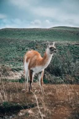 patagonia-guanaco