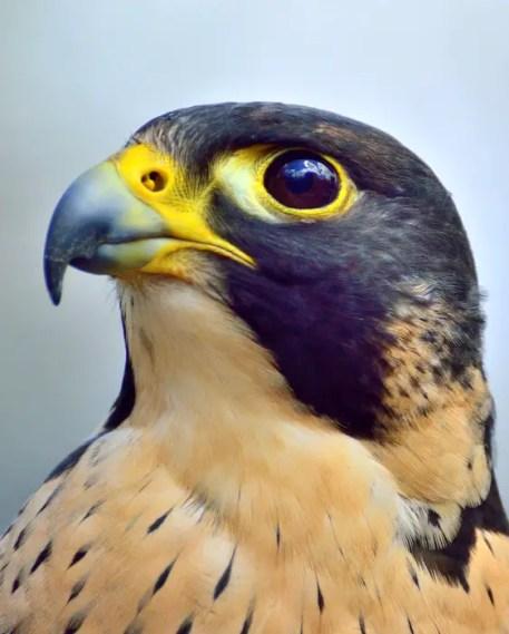 peregrine-falcon-371610