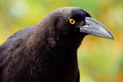 birds of tasmania Australia guide black currawong