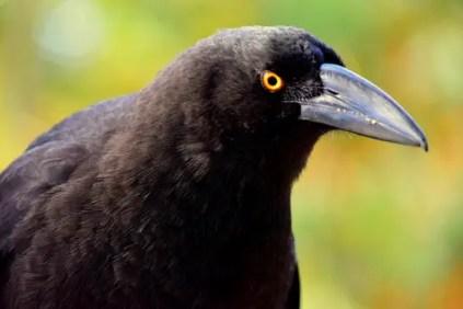 birds of tasmania Australia guide black currawong
