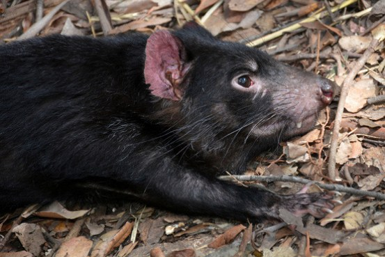 tasmanian-devil-1592279_1920