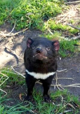 tasmanian-devil-802463_1920