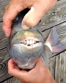 teeth fish2