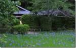 大田神社のかきつばたと平安ロマンを感じる旅へ!