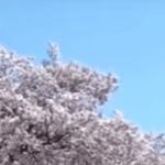 小金井桜まつり