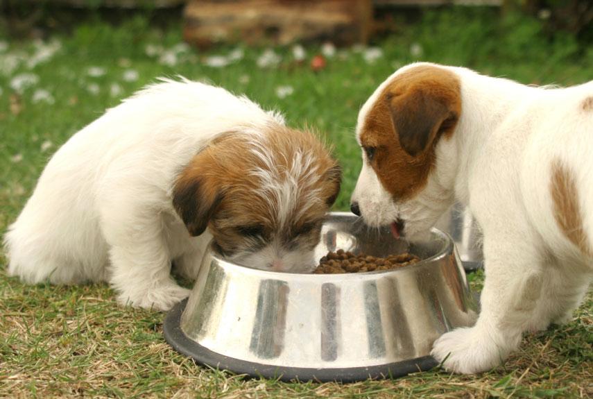 Jack Russell Terrier Cute Puppies Wallpaper 191 C 243 Mo Funciona El Sistema Digestivo De Un Perro 183 Wakyma