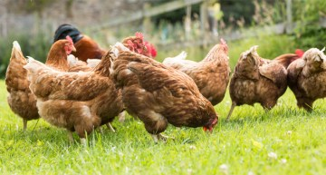 Why You Should Start Raising Backyard Chickens Now