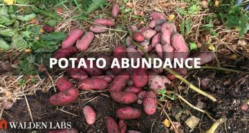 2015 Harvest Results: My 3,468% ROI on Potatoes
