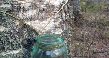 6 Delicious Things You Can Do With Birch Sap